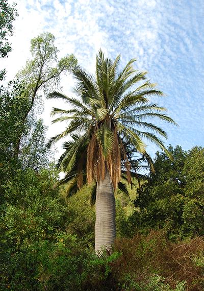 Palma chilena