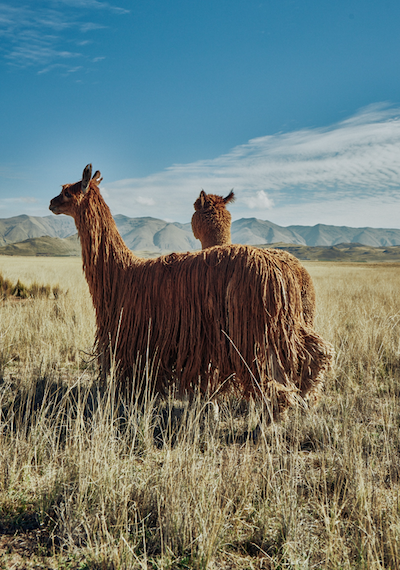 ¿Por qué optar por productos hechos con fibra de alpaca?